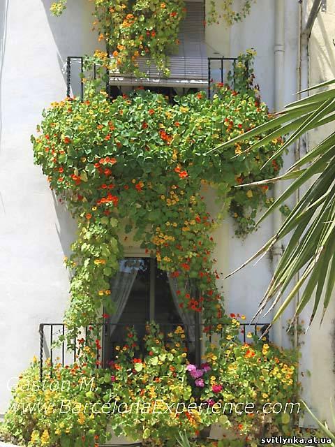 Цветы настурции на балконе.